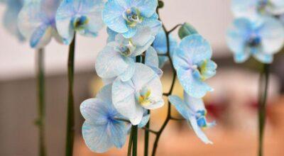 Orquídea azul: como cultivar e usar a planta na decoração da sua casa