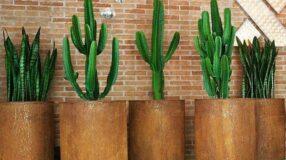 Espada-de-são-Jorge: beleza natural para alegrar qualquer ambiente