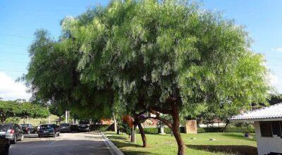 21 árvores para calçada: como plantar sem medo de danificar seu espaço