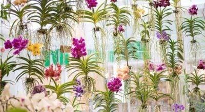 Orquídea Vanda: surpreenda-se com sua beleza e veja como cultivar