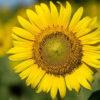 Como cuidar de girassol: aprenda a plantar e cultivar no seu jardim