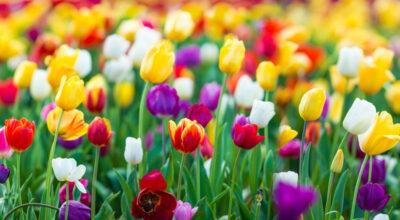 Como cuidar de tulipas: aprenda a cultivá-las em casa para harmonizar a decoração