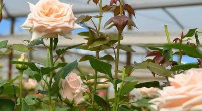 Como plantar rosas: passo a passo para plantio e cuidados com a roseira