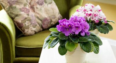 Como cuidar de violetas: dicas e formas de plantio para cultivar essa flor graciosa