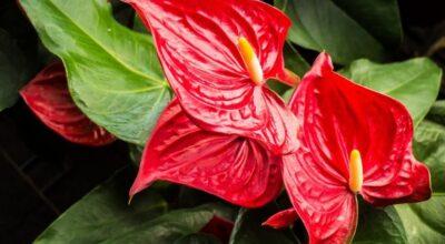 Antúrio: conheça essa flor deslumbrante para o seu jardim