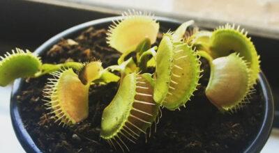 Plantas carnívoras: como cuidar e tipos para você ter em casa