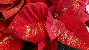 Flor de Natal: 40 ideias de arranjos e dicas para cuidar da planta