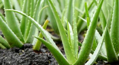 Como plantar babosa: 5 passos para mantê-la linda dentro do vaso