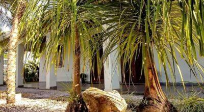 Pata-de-elefante: dicas e cuidados para cultivar a planta rústica
