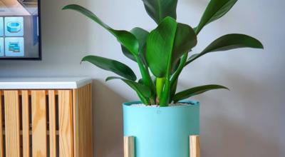 Pacová: como cuidar e decorar sua casa com essa planta