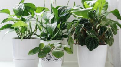 Peperômia: como cuidar e embelezar sua casa com lindas plantas