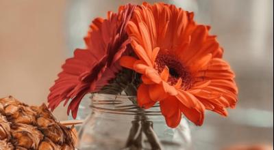 Gérbera: cuidados, como plantar e inspirações para decorar