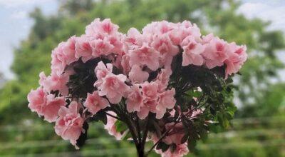 Azaleia: como cultivar e utilizar essa linda flor na decoração