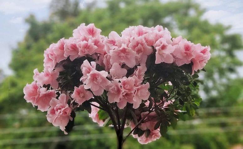 Azaleia: 50 fotos apaixonantes e como cultivar essa flor
