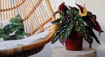 Begonia maculata: aprenda como cultivar a adorável planta das bolinhas