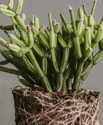 Rhipsalis: tipos, cuidados e como plantar essa espécie de cacto