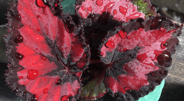 Begônia rex: como cuidar dessa planta e usá-la na decoração