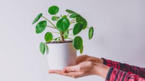 Pilea: tipos, como cuidar e 25 inspirações para cultivar em casa