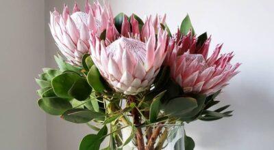 Proteas: apaixone-se pela beleza magnífica dessas flores