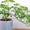 Descubra como cuidar da árvore-da-felicidade e decore sua casa