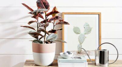 Conheça a Ficus elastica e apaixone-se por suas cores