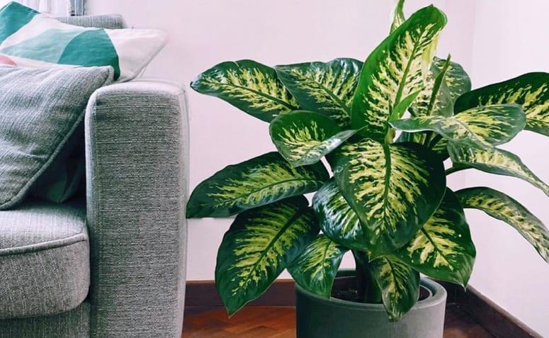 Comigo-ninguém-pode: cuidados e como cultivar essa planta poderosa