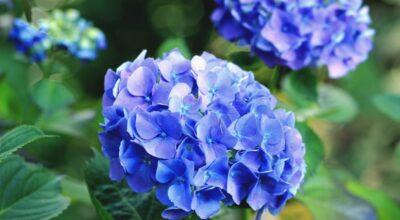 Como plantar e colorir seu jardim com a encantadora hortênsia
