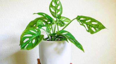 5 dicas de como cuidar da monstera adansonii para ter folhagens incríveis