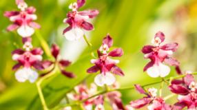 Veja lindas fotos da orquídea chocolate e dicas de cuidado com a planta