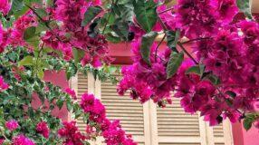Conheça a planta primavera, um arbusto charmoso para o seu paisagismo