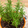 6 dicas certeiras de como plantar alecrim e cultivar a planta em casa